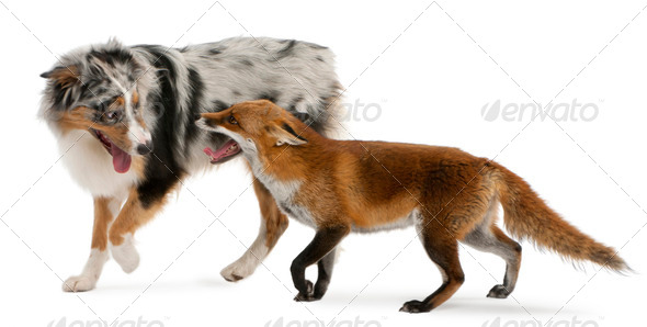 Red Fox - Stock Photo - Images
