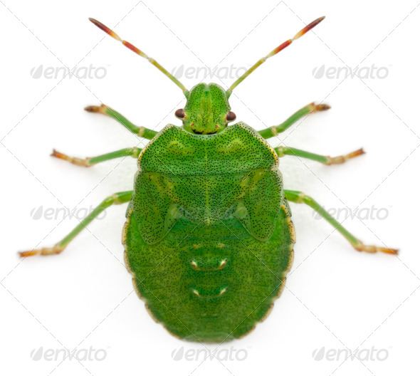 High angle view of a Green shield bug, Palomena prasina, in front of white background - Stock Photo - Images