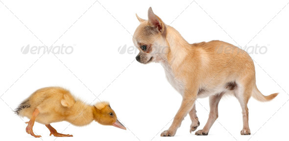 Chihuahua playing with a domestic duckling in front of white background - Stock Photo - Images
