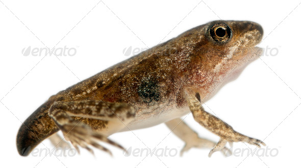 Common Frog, Rana temporaria, young metamorphosis at 14 weeks, in front of white background - Stock Photo - Images