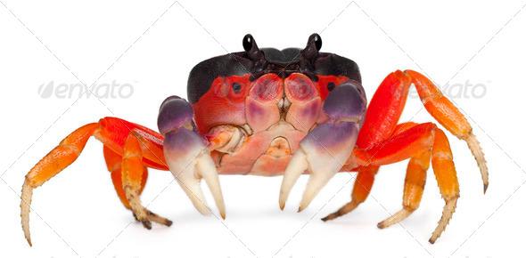 Red land crab, Gecarcinus quadratus, in front of white background - Stock Photo - Images