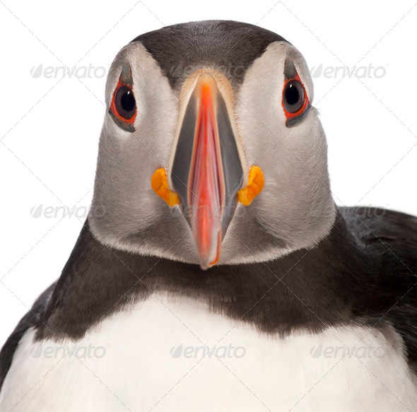 Close-up of Atlantic Puffin or Common Puffin, Fratercula arctica, in front of white background - Stock Photo - Images