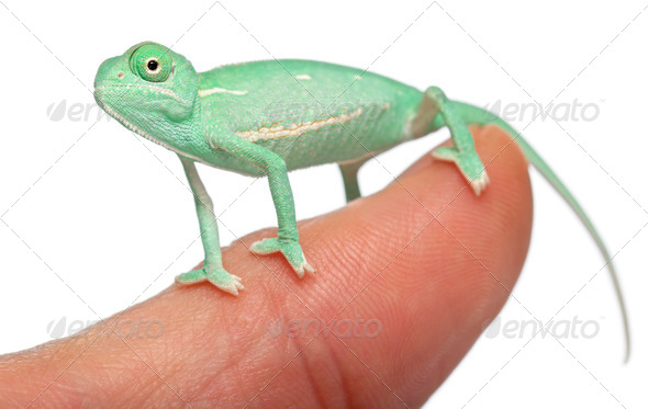 Young veiled chameleon on finger, Chamaeleo calyptratus, in front of white background - Stock Photo - Images