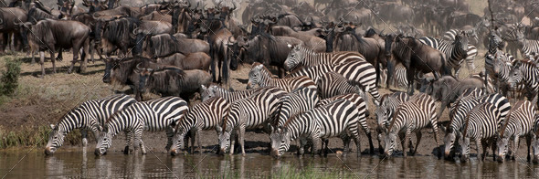Zebras drinking at the Serengeti National Park, Tanzania, Africa - Stock Photo - Images