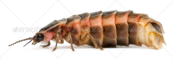 Common glow-worm of Europe, Lampyris noctiluca, in front of white background - Stock Photo - Images