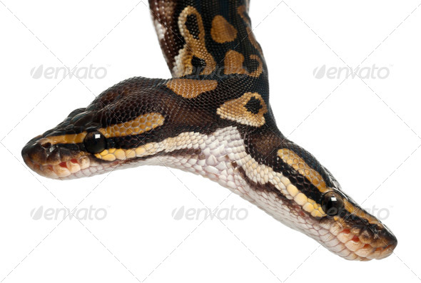 Close-up of Two headed Royal Python - Stock Photo - Images