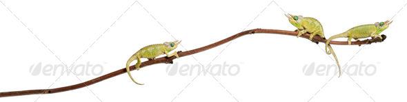 Three Mt. Meru Jackson's Chameleons - Stock Photo - Images