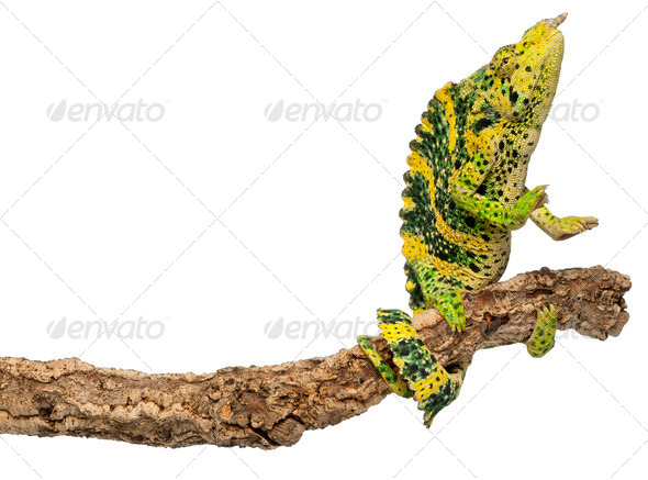 Meller's Chameleon - Stock Photo - Images