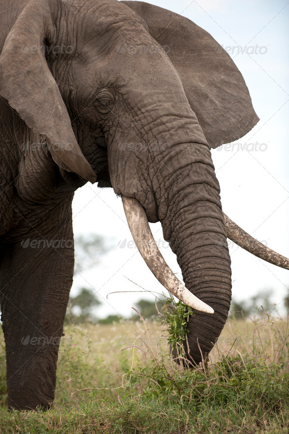 Elephant at the Serengeti National Park, Tanzania, Africa - Stock Photo - Images