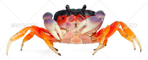 Red land crab, Gecarcinus quadratus, in front of white background - Stock Photo - Images
