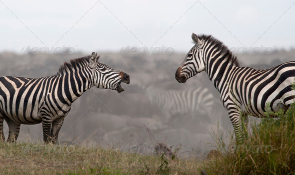 Zebras at the Serengeti National Park, Tanzania, Africa - Stock Photo - Images