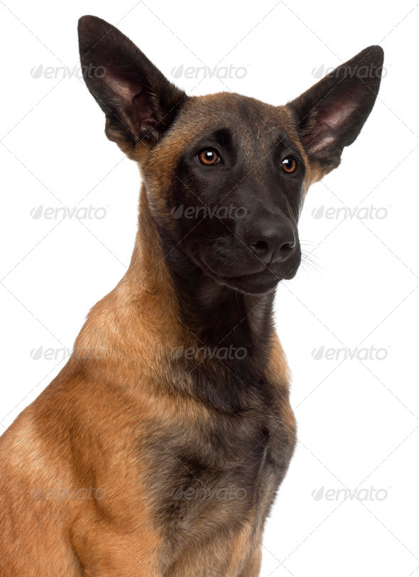 Close-up of Belgian Shepherd Dog, 4 months old, in front of white background - Stock Photo - Images