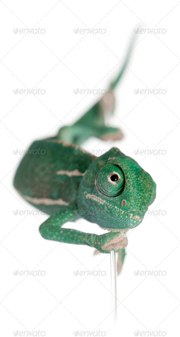 Young veiled chameleon, Chamaeleo calyptratus, climbing up a string in front of white background - Stock Photo - Images