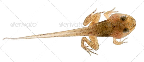 Common Frog, Rana temporaria tadpole with all legs, 12 weeks old, in front of white background - Stock Photo - Images