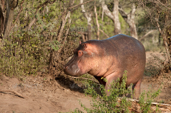 Hippo at the Serengeti National Park, Tanzania, Africa - Stock Photo - Images