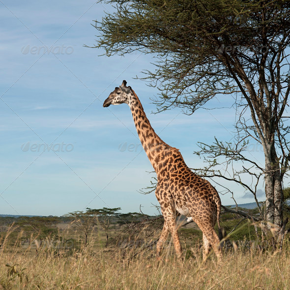 Giraffe at the Serengeti National Park, Tanzania, Africa - Stock Photo - Images