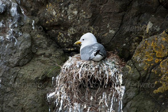 Seagull in nest on Mykines, Faroe Islands - Stock Photo - Images