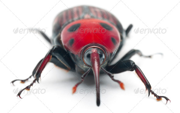 Female Red palm weevil, Rhynchophorus ferrugineus, 3 weeks old, in front of white background - Stock Photo - Images