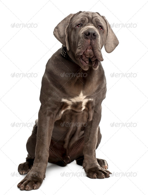 Neapolitan Mastiff puppy, 6 months old, sitting in front of white background - Stock Photo - Images