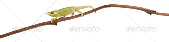 Mt. Meru Jackson's Chameleon - Stock Photo - Images