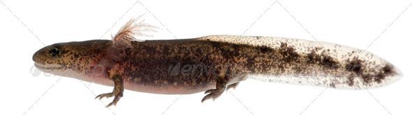 Fire salamander larva - Stock Photo - Images