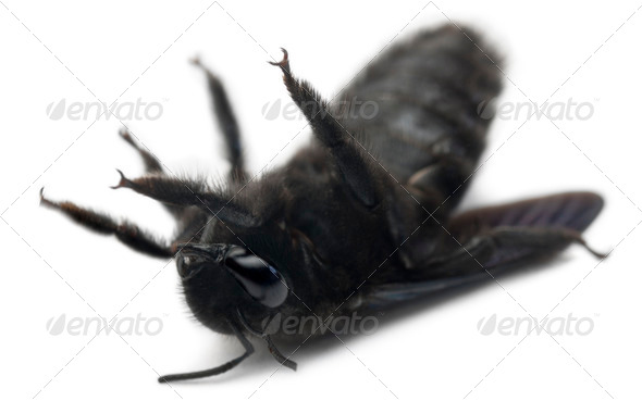 Carpenter bee, Xylocopa violacea, lying in front of white background - Stock Photo - Images