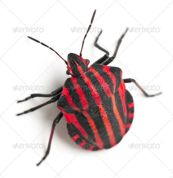 Shield bug, Graphosoma lineatum, in front of white background - Stock Photo - Images