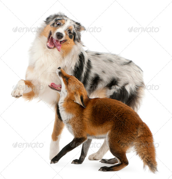 Red Fox playing with Australian Shepherd dog - Stock Photo - Images
