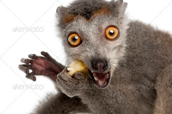 Close-up of Crowned lemur, Eulemur coronatus, 2 years old, in front of white background - Stock Photo - Images