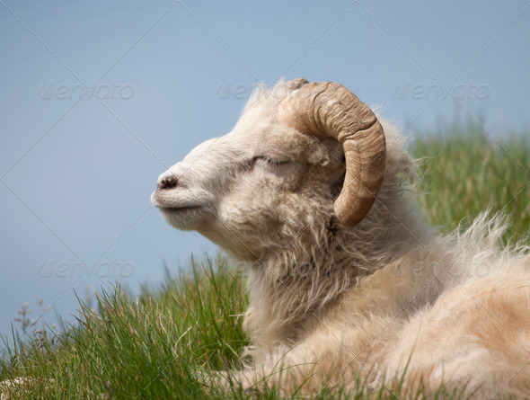 Sheep on Mykines, Faroe Islands - Stock Photo - Images