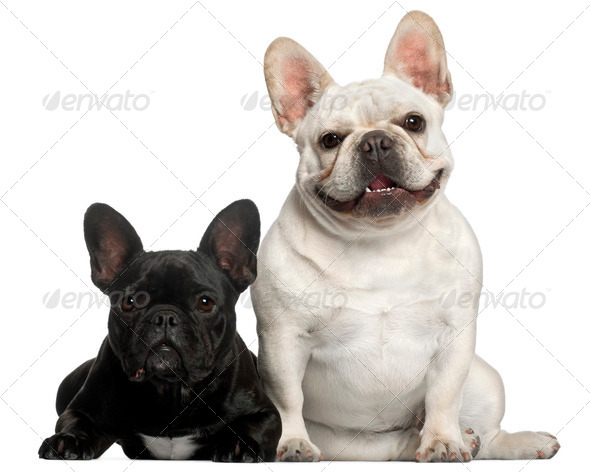 French Bulldogs, 2 years old, in front of white background - Stock Photo - Images
