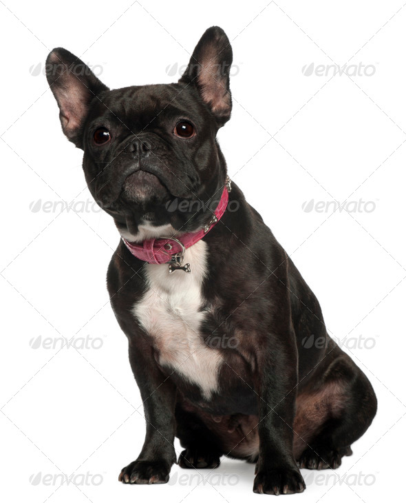 French Bulldog, 30 months old, sitting in front of white background - Stock Photo - Images