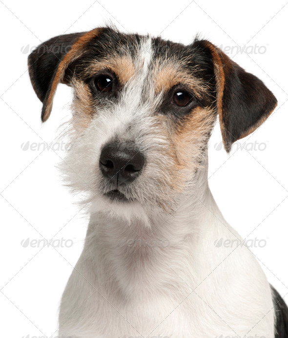 Close-up of Jack Russell Terrier puppy, 5 months old, in front of white background - Stock Photo - Images