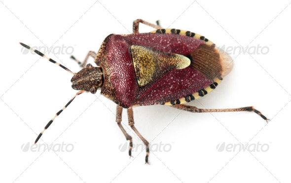 High angle view of Shield bug, Dolycoris baccarum, in front of white background - Stock Photo - Images
