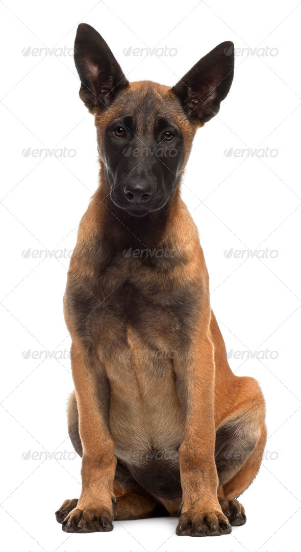 Belgian Shepherd Dog, 4 months old, sitting in front of white background - Stock Photo - Images
