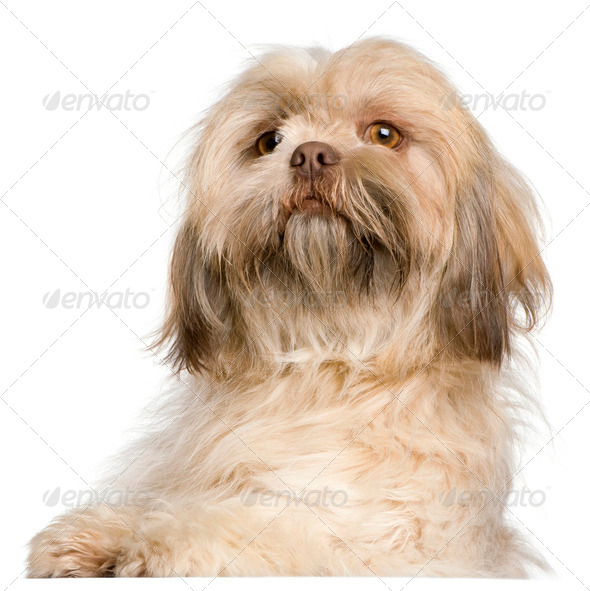 Close-up of Shih Tzu, 3 years old, in front of white background - Stock Photo - Images