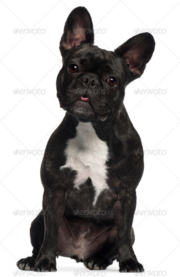 French Bulldog, 2 and a half years old, sitting in front of white background - Stock Photo - Images