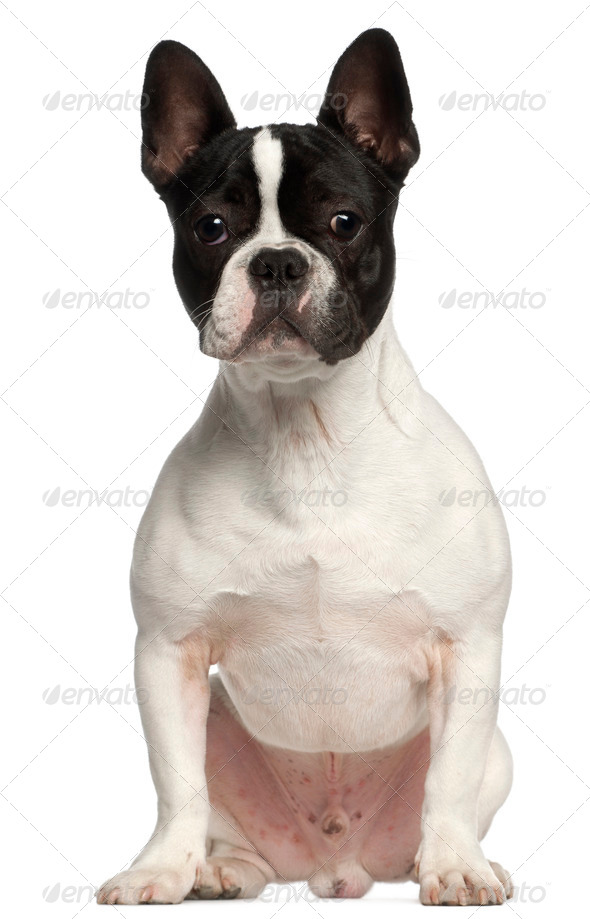 French Bulldog, 7 months old, sitting in front of white background - Stock Photo - Images