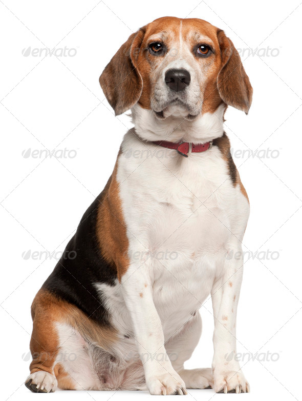 Beagle, 5 years old, sitting in front of white background - Stock Photo - Images
