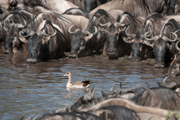 Herds of wildebeest and bird at the Serengeti National Park, Tanzania, Africa - Stock Photo - Images