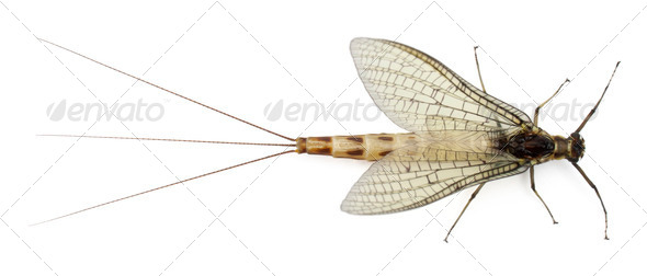 High angle view of Mayfly, Ephemera danica, in front of white background - Stock Photo - Images