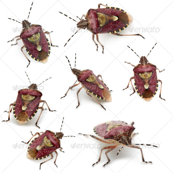 Collection of Shield bugs, Dolycoris baccarum, in front of white background - Stock Photo - Images