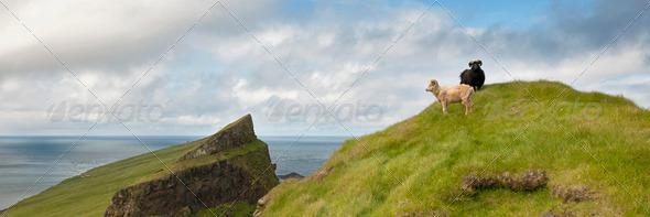 Sheep on Mykines, Faroe Islands - Stock Photo - Images