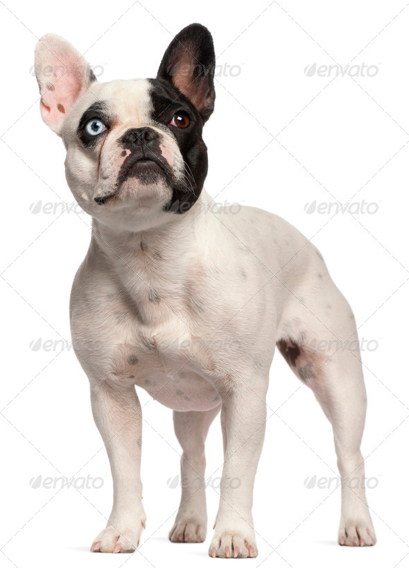 Half blind French Bulldog, 2 years old, standing in front of white background - Stock Photo - Images