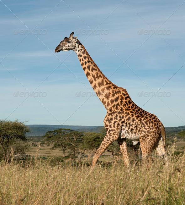 Giraffe at the Serengeti National Park, Tanzania, Africa - Stock Photo - Images