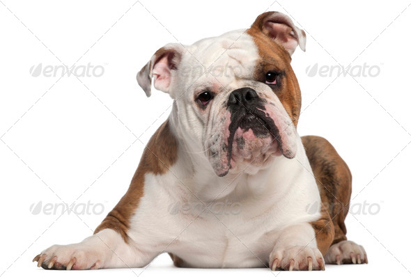 English Bulldog, 18 months old, lying in front of white background - Stock Photo - Images