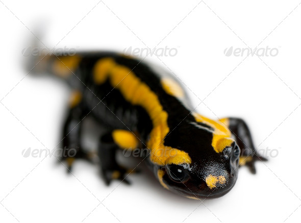 Fire salamander, Salamandra salamandra, in front of white background - Stock Photo - Images