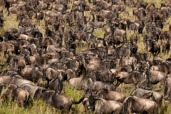 Herd of Wildebeest at the Serengeti National Park, Tanzania, Africa - Stock Photo - Images
