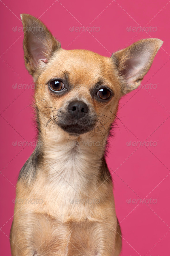 Close-up of Chihuahua, 12 months old, in front of pink background - Stock Photo - Images