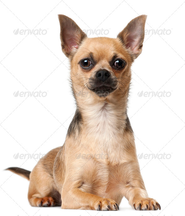Chihuahua, 12 months old, lying in front of white background - Stock Photo - Images